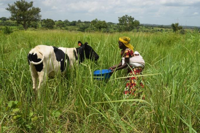 Grace, 20, has bought a cow to help pay her daughter's school fees